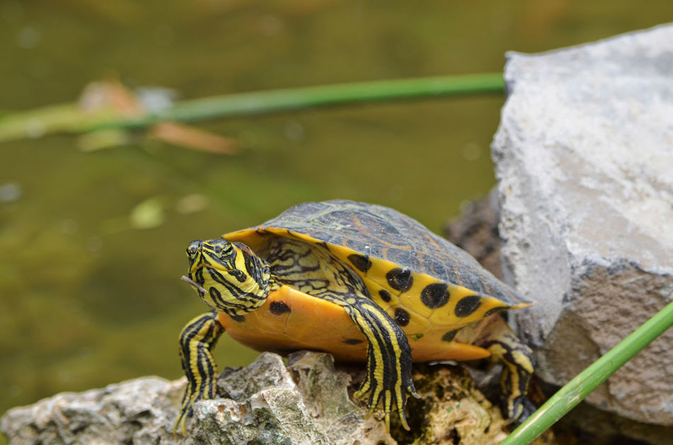 Beautiful stock photos of schildkröte, Animal Themes, Animal Wildlife, Animals In The Wild, Day