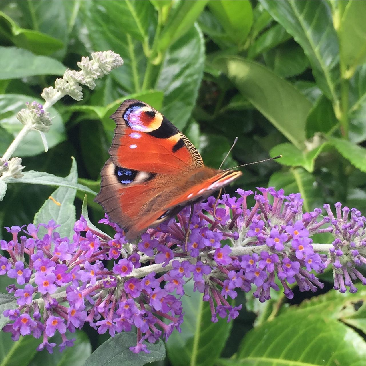 High Angle View Of Butterfly Pollinating On Purple Flowers