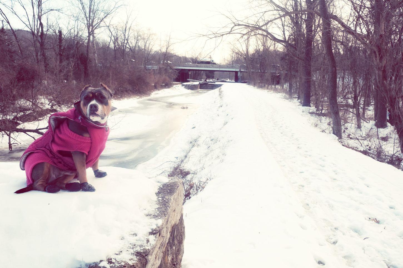 Frozen Canal Pitbull Whiteout Posing