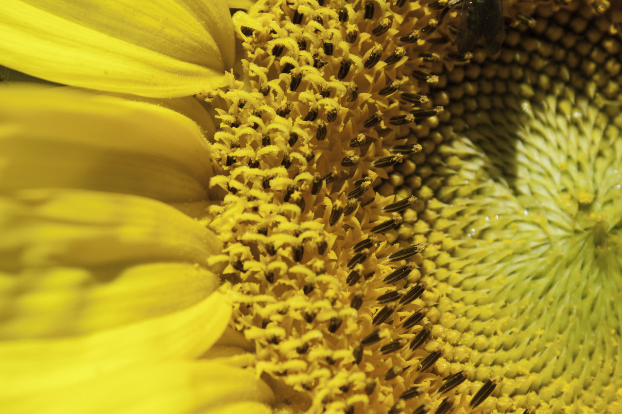 Sunflower closeup Backgrounds Beauty In Nature Blooming Botany Close-up Day Flower Flower Head Fragility Freshness Full Frame Growth Nature No People Outdoors Petal Plant Selective Focus Sunflower Yellow