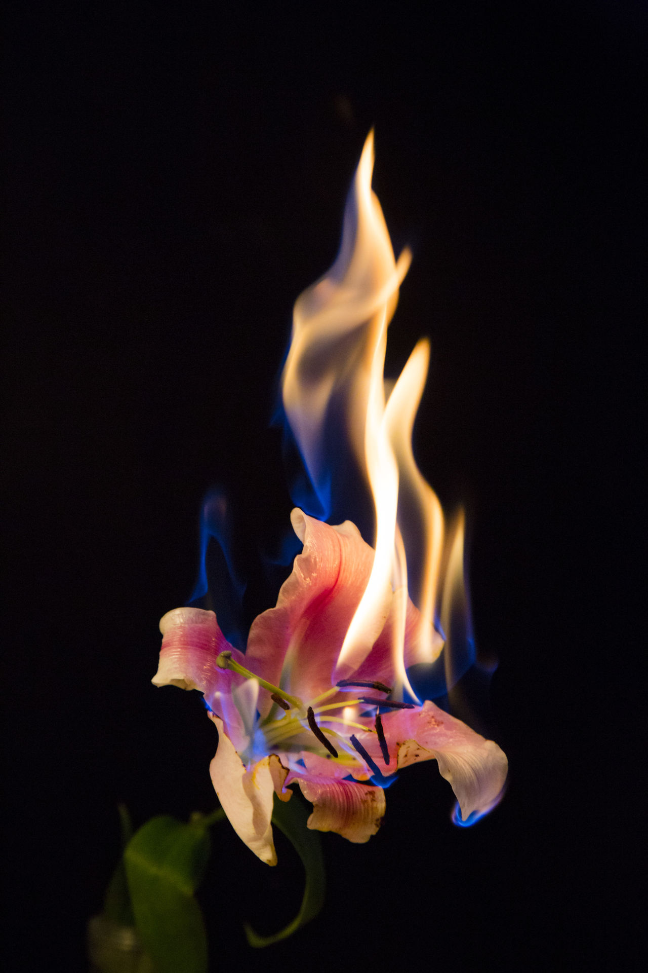 Nature Flower Black Background Fire