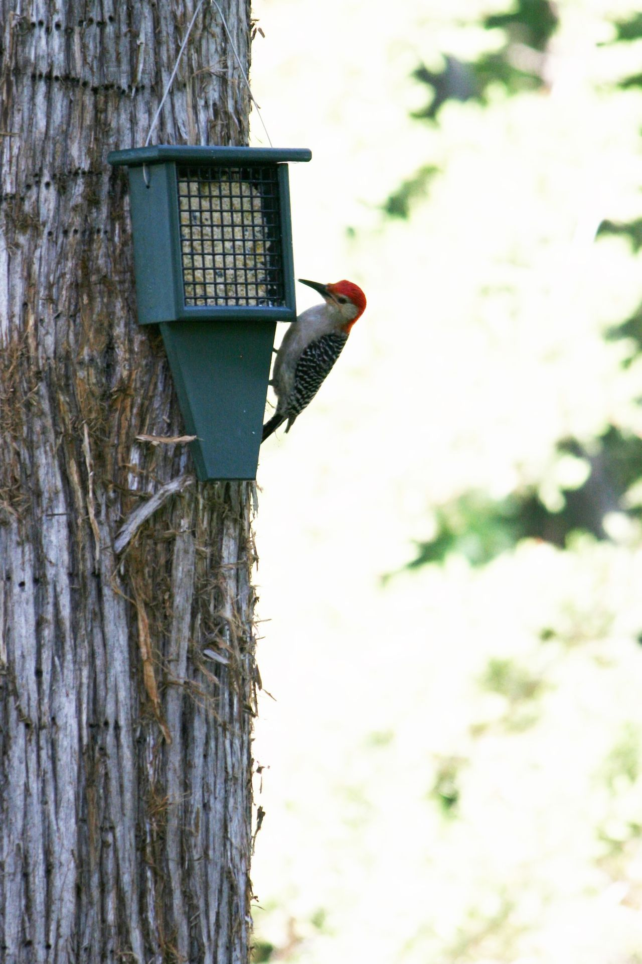 Animal Themes Animal Wildlife Animals In The Wild Bird Bird Feeder Bird Feeders Cedar Tree Close-up Day Focus On Foreground Low Angle View Nature No Filter No Edit No People One Animal Outdoors Perching Red Headed Woodpecker Suet Suet Feeder Tree Woodpecker