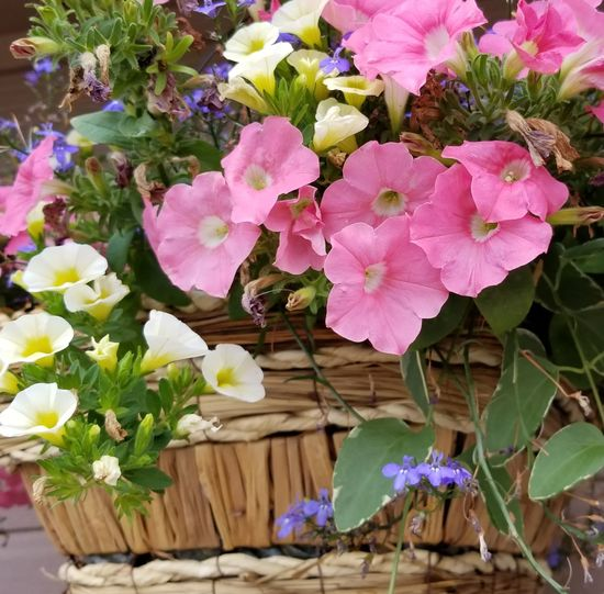 Flower Pink Color Plant Nature Growth Petal Fragility Beauty In Nature No People Outdoors Day Flower Head Freshness Leaf Water Close-up Basket Of Flowers 🌷