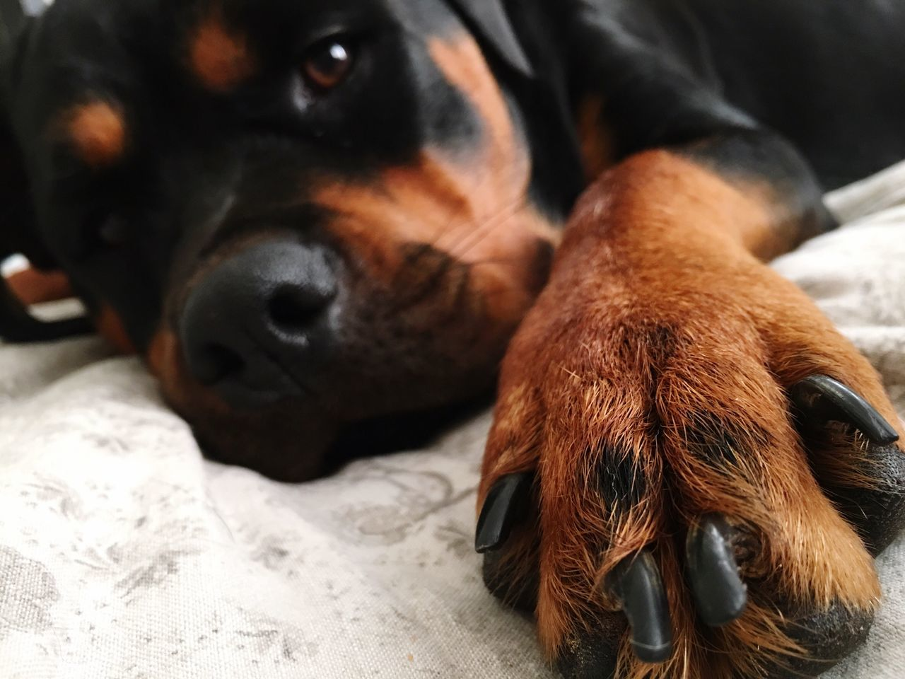 I love you. Hold my paw 😊❤️🐶 Pets Animal Themes Dog Domestic Animals Mammal Looking At Camera Relaxation Close-up Rottweiler Indoors  Portrait One Animal Black Color No People Day Composition Perspective Leisure Activity