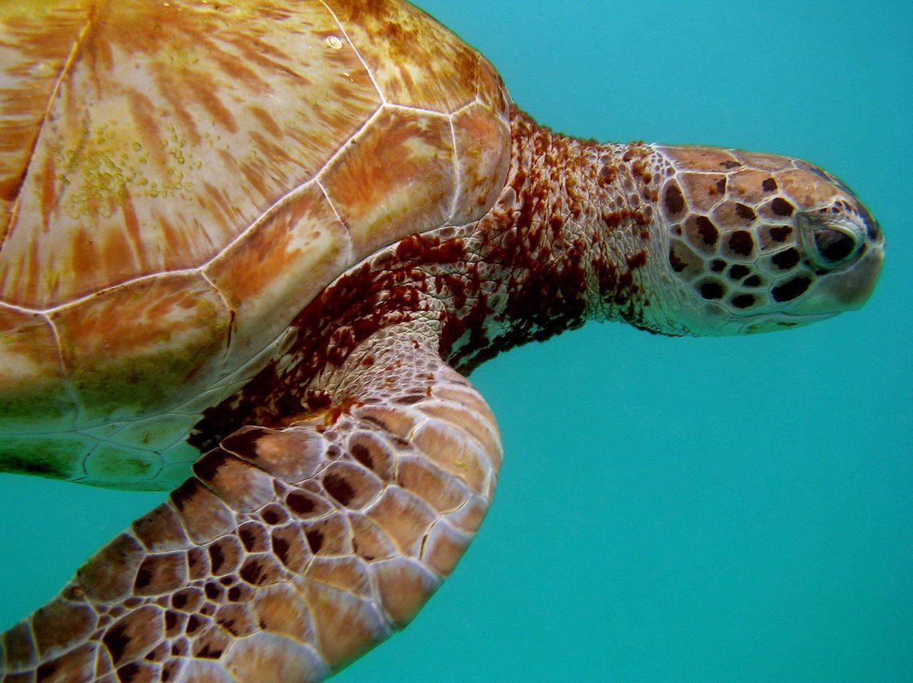 Animal Themes Animal Wildlife Animals In The Wild Close-up Day Nature No People One Animal Outdoors Sea Sea Life Sea Turtle Swimming Turtle UnderSea Underwater Water