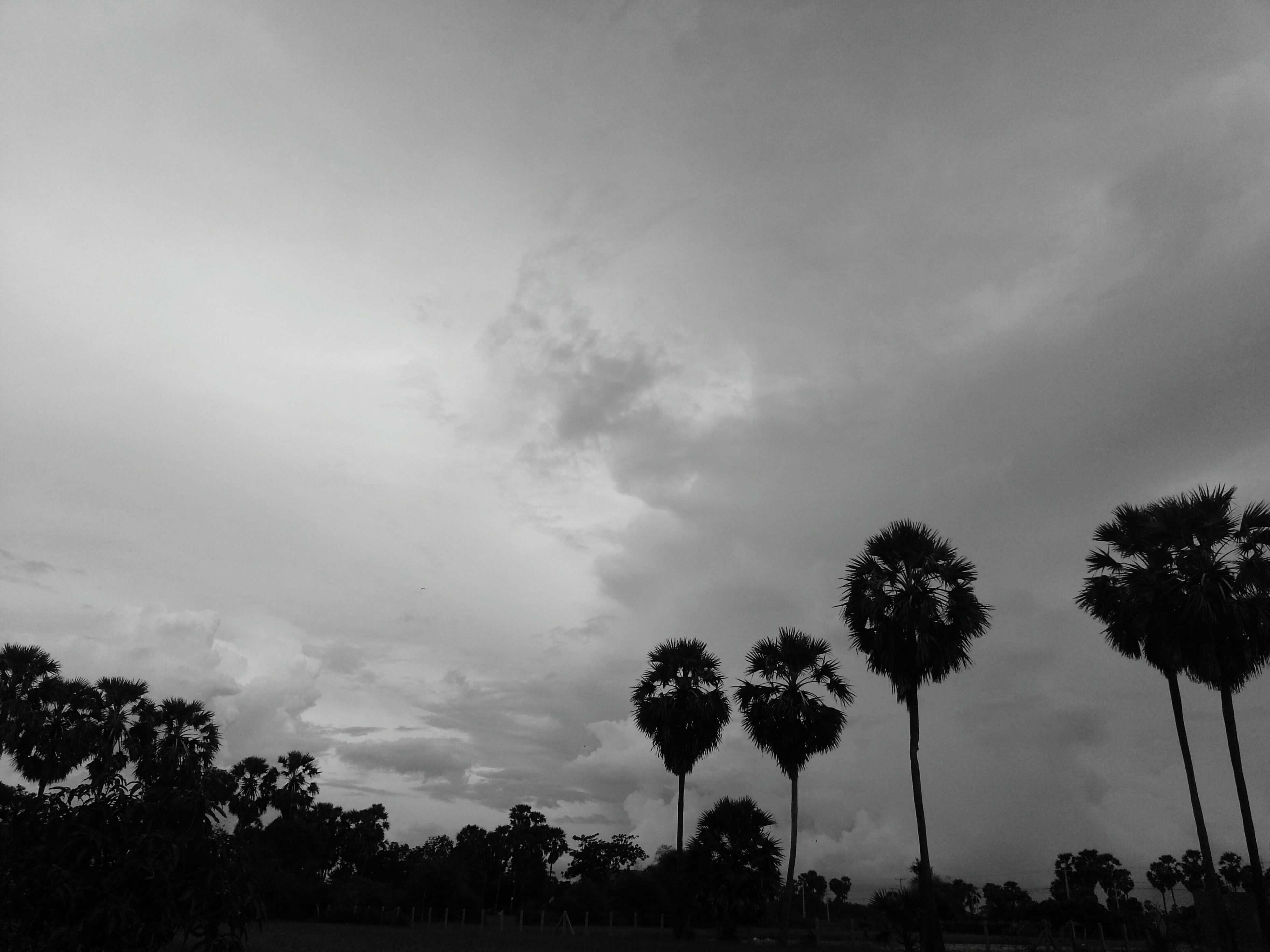 tree, sky, silhouette, low angle view, tranquility, cloud - sky, growth, beauty in nature, tranquil scene, nature, scenics, palm tree, cloudy, cloud, branch, outdoors, dusk, tree trunk, no people, idyllic