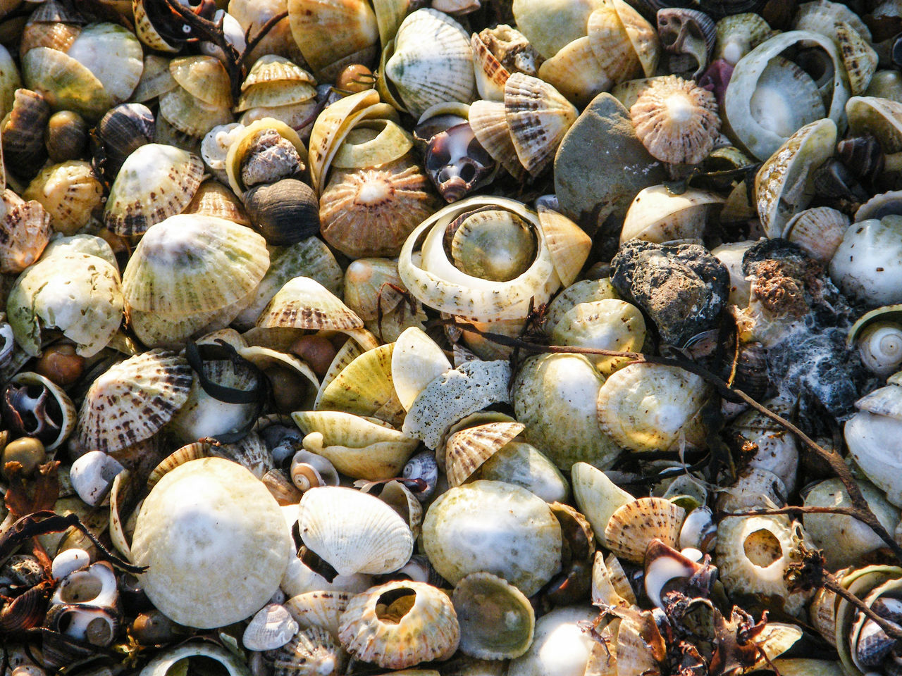 Backgrounds Clam Day Full Frame Large Group Of Objects Nature No People Outdoors Pebbles Pebbles And Stones Pebbles On A Beach Shells Shells And Stones Shells On Beach,