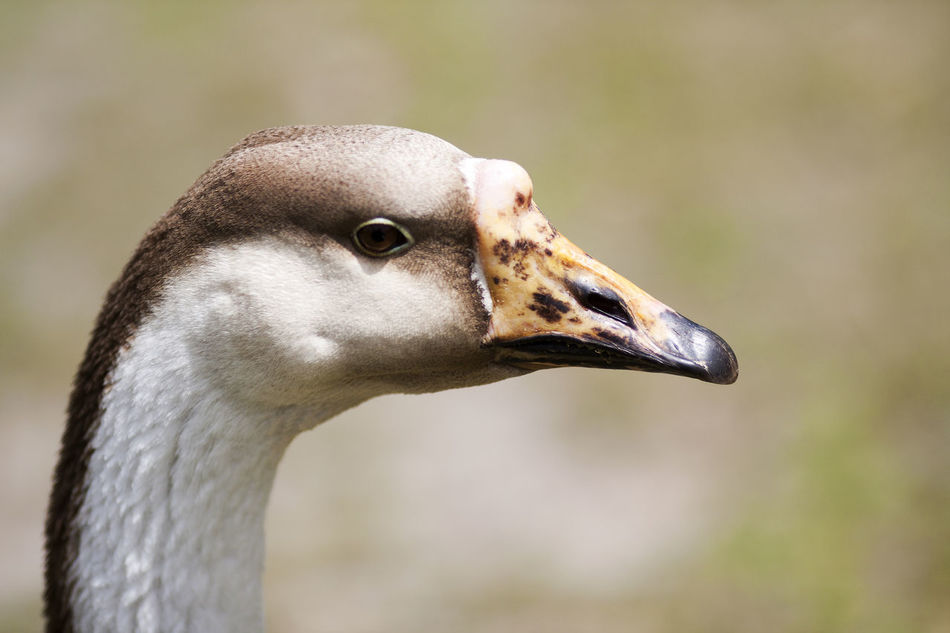 Animal Head  Animal Themes Animal Wildlife Animals In The Wild Beak Bird Close-up Day Focus On Foreground Goose Nature No People One Animal Ostrich Outdoors Portrait