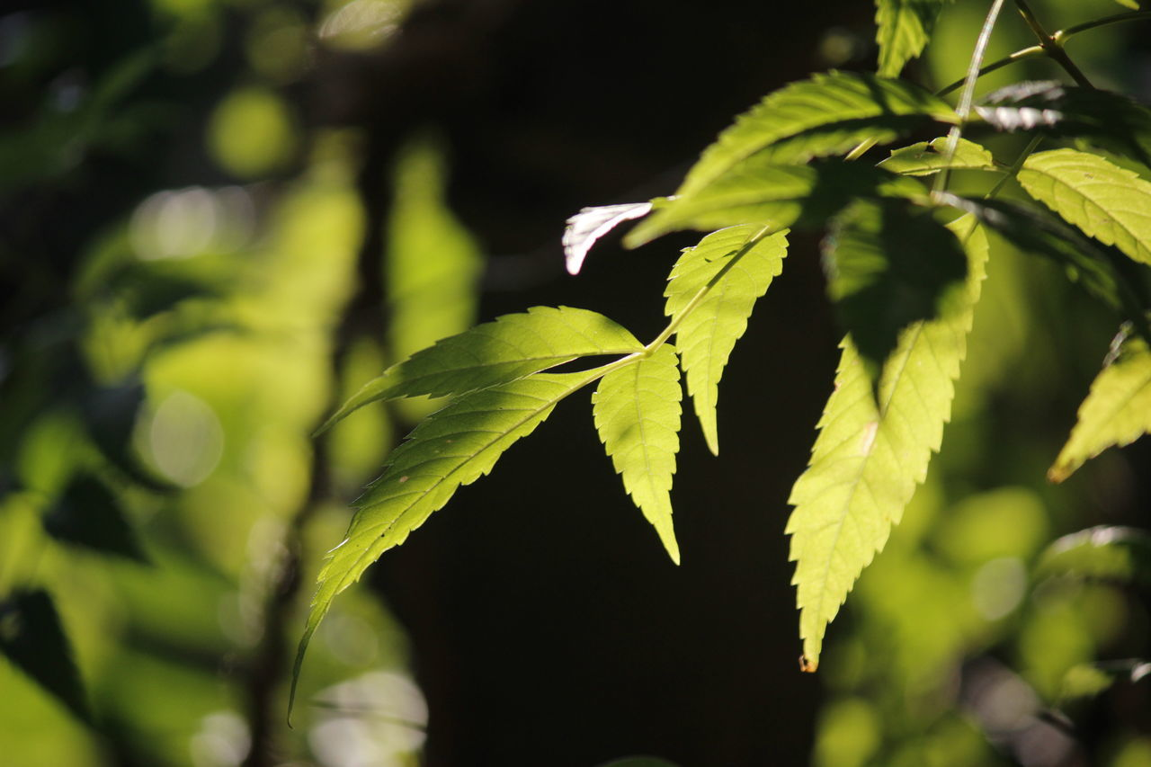Freshness Green Leaves. Close-up Nature Sunlight Through Leaves Green Color Beautiful Beauty In Nature Branches And Leaves Leaves Pattern Growth Process Bright Colours Bright Leaves