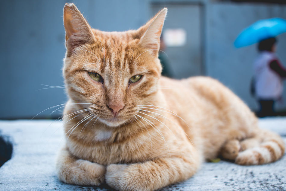 Animal Themes Cat Close-up Day Domestic Cat Feline Ginger Cat Looking At Camera Mammal No People One Animal Pets Selective Focus Surface Level Whisker Whiskers