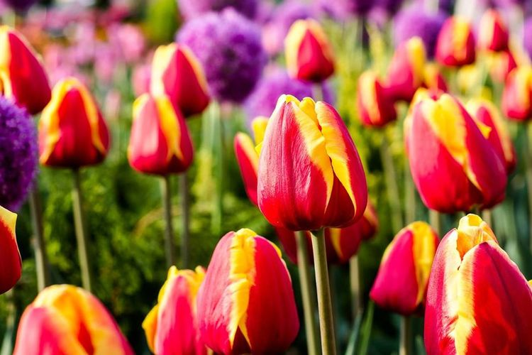 Botany Close-up Flower Flower Head Freshness In Bloom Multi Colored Nature No People Tulip First Eyeem Photo