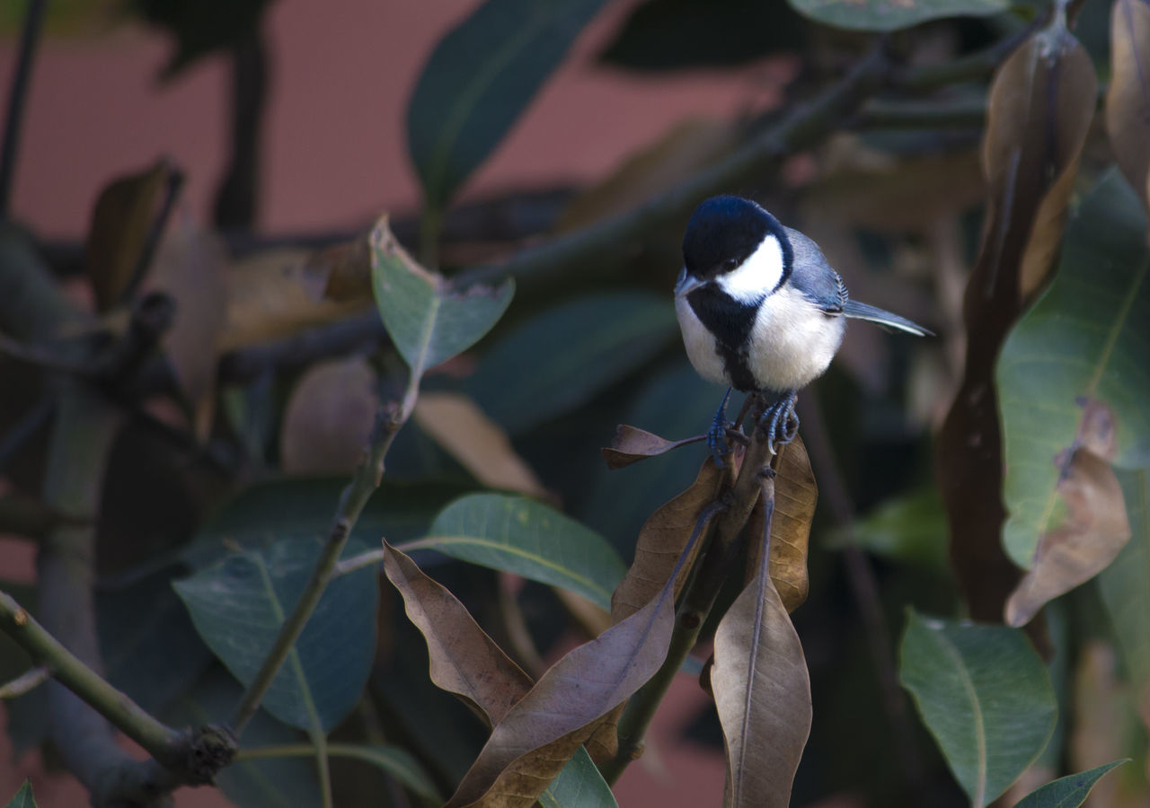 Black-capped chickadee Amazing Birds  Amazing Nature Animal Wildlife Animals In The Wild Beauty In Nature Black And White Black-capped Chickadee Close-up Cute Birds  Cute Bird🐥 Focus On Foreground Leaf Nature Outdoors Perching Poecile Atricapillus Small Bird Small Black And White Bir Songbird  Tiny Birds
