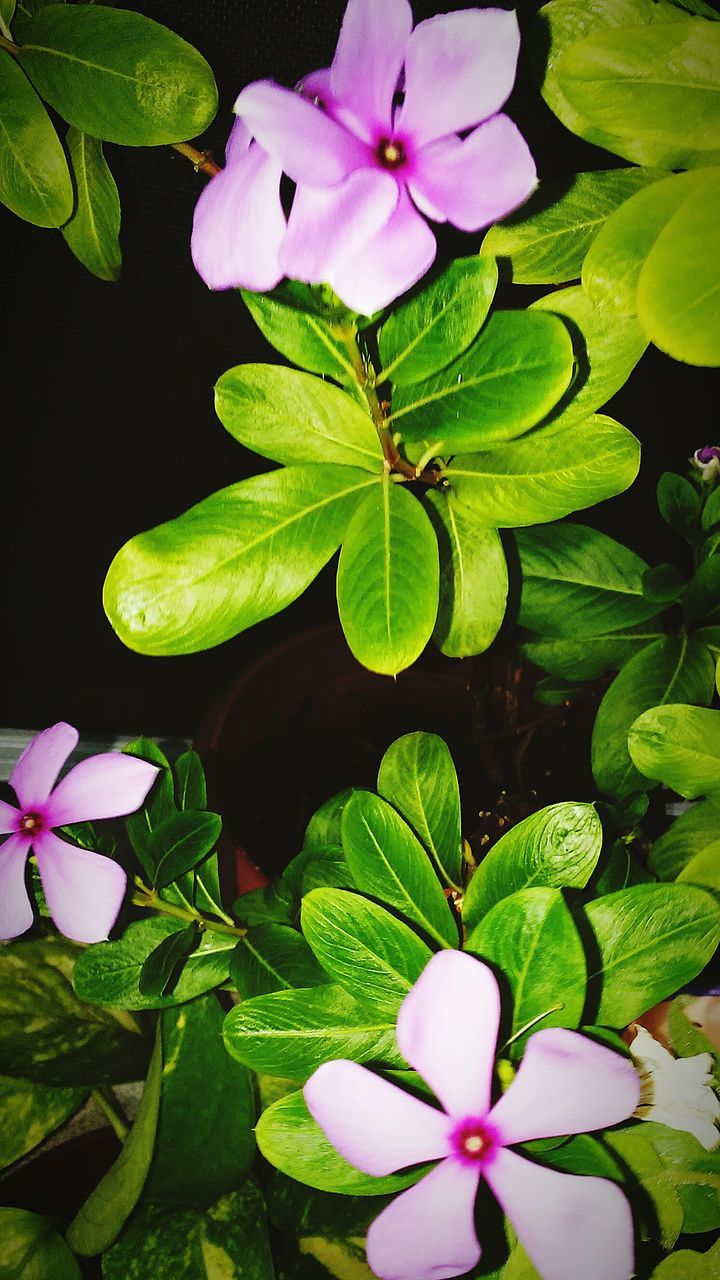 leaf, flower, petal, growth, plant, nature, beauty in nature, fragility, green color, freshness, flower head, no people, periwinkle, blooming, close-up, day, outdoors
