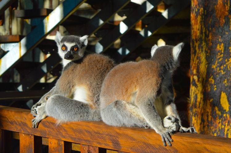 Animal Themes Animals In The Wild Animals Up Close Australian Zoo Cute Day Fur Furry Indoors  Lemur Living In The Trees Looking Around Looking At Camera Mammal Nature No People Reflections Stairs Suspicion Tree Treehouse Unpredictable Wildlife Up Close EyeEmNewHere Zoo Life