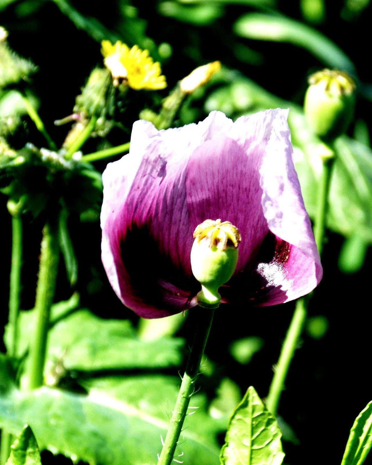 Vegetable Nature Adormidera Freshness Flower