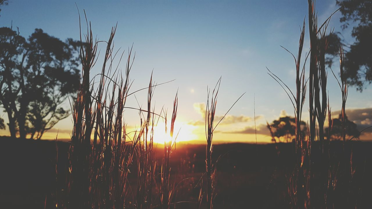 Growth Sunset Nature Silhouette Plant Sunlight Sun Sky Scenics Outdoors Rural Scene Beauty In Nature Uncultivated Agriculture Landscape No People Tranquility New Life Grass Backgrounds Australia Australian Nature Natural Beauty Beauty Of Australia Close-up