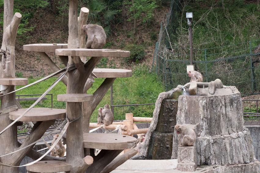 Animal Animal Themes Animals Contryside Day Macaca Mammal Monkey Nihon-zaru No People Outdoors Tree Zoo