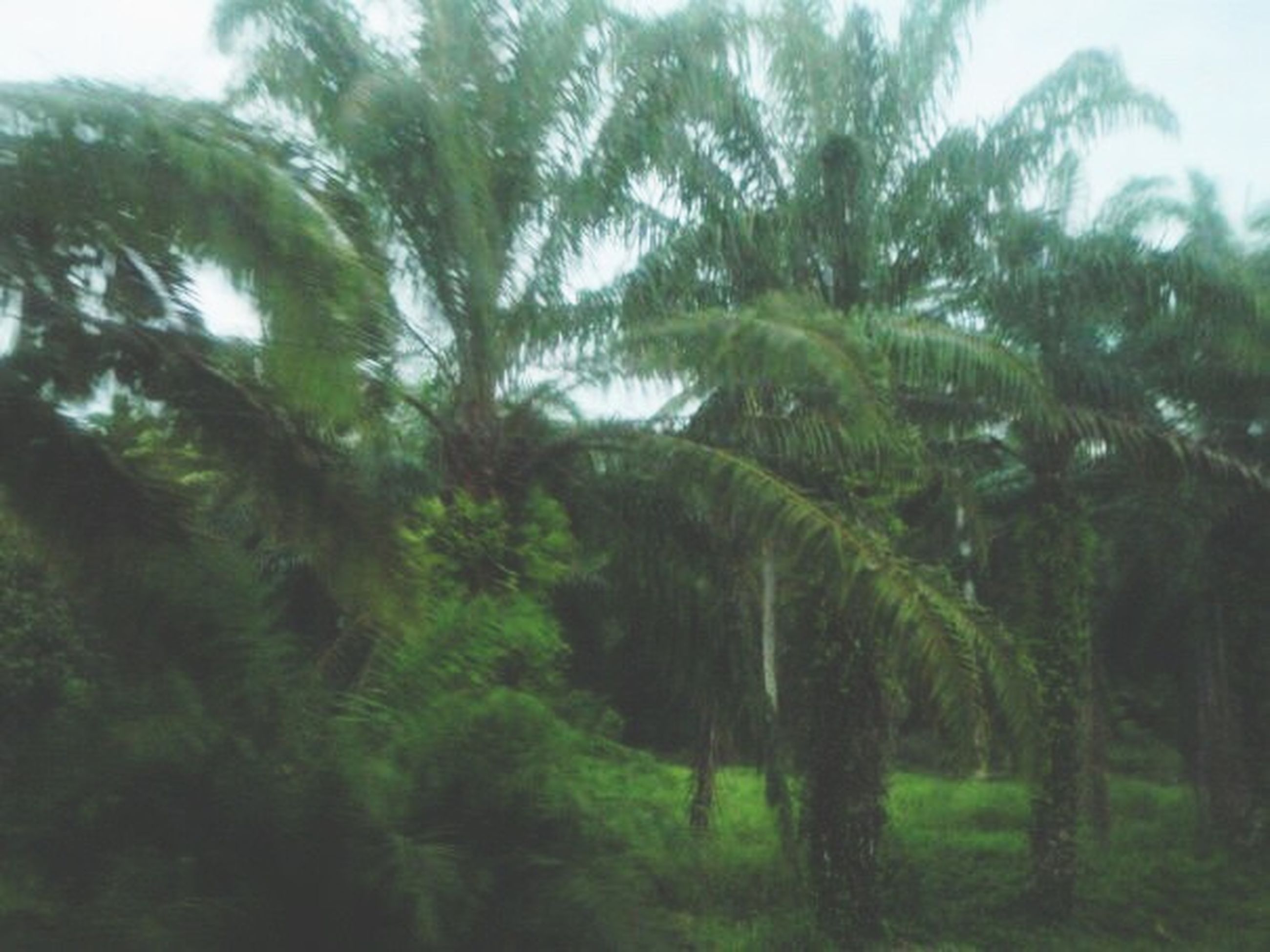 tree, growth, tranquility, green color, nature, tranquil scene, tree trunk, beauty in nature, scenics, forest, sky, branch, low angle view, day, growing, outdoors, palm tree, no people, plant, non-urban scene