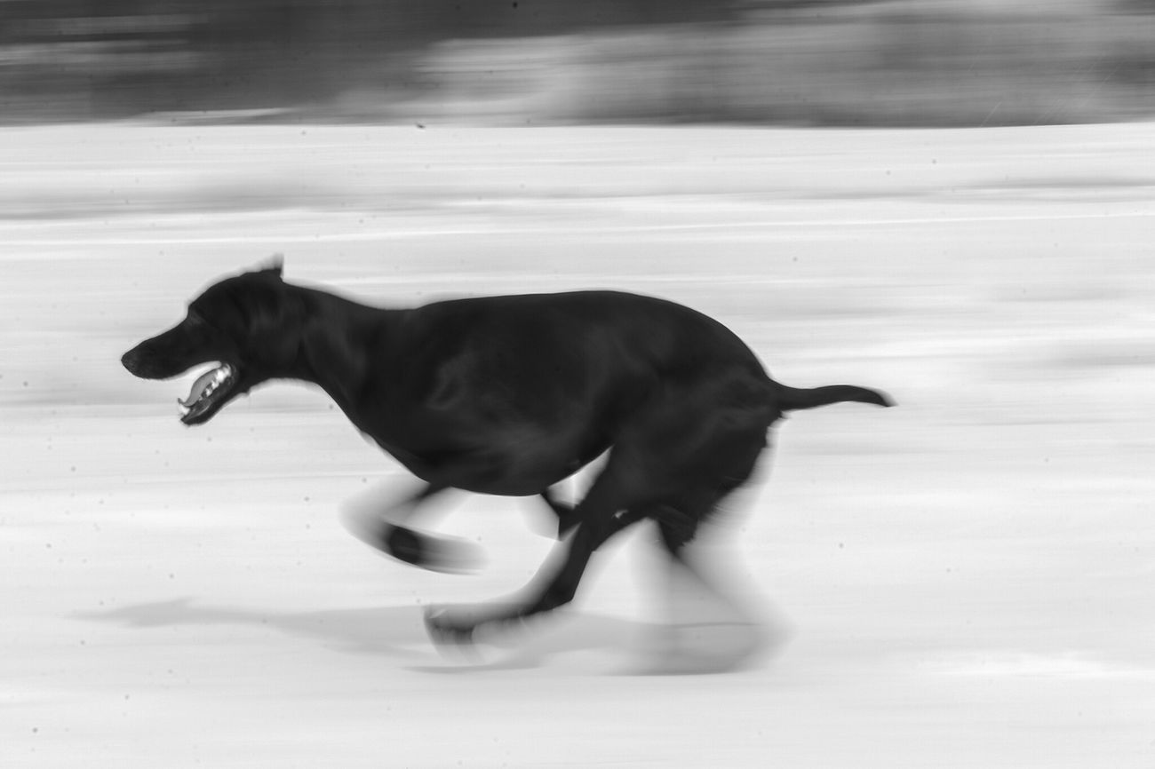 Full speed ahead In Motion Speed Germanshorthairedpointer Vorsteh Dog Animals Blackandwhite Photography Bw_collection Bnw_collection OpenEdit EyeEm Best Shots - Black + White Huntingdog