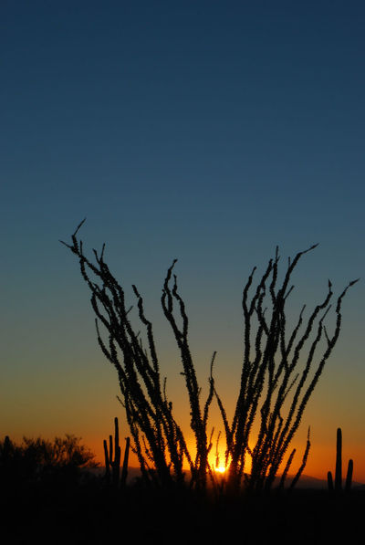 Sunset in the Sonoran Desert. The ocotillo plant (fouquieria splendens) has long spiny stems which bloom from Mar - Jun. The plant has a lifespan of approx 60 yrs and grows as tall as 20 feet. Arizona Beauty In Nature Blue Dark Desert Grass Growth Horizon Over Land Landscape Fine Art Photography Nature Non Urban Scene OcotilloTree Orange Color Outdoors Outline Plant Remote Scenics Sky Sun Sunset Tranquil Scene Tranquility Ocotillo