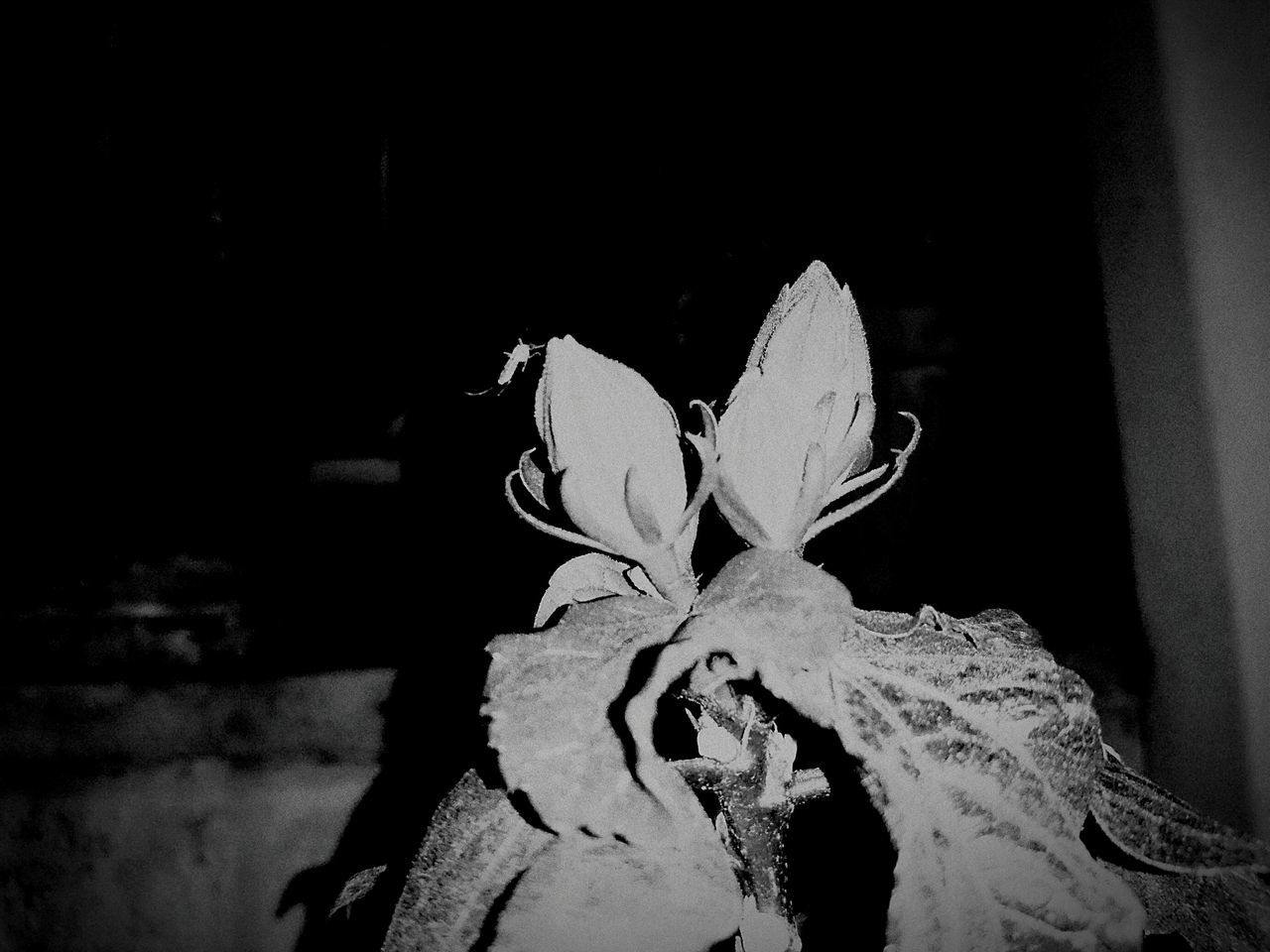 Hanging Out Taking Photos Check This Out Hello World Enjoying Life Black & White Black And White Black And White Photography Mosquito Mosquito On The Flower Hibiscus Flower Hibiscus Hibiscus 🌺 Hibiscus Buds Naturesdiversities Natures Diversities The Great Outdoors - 2016 EyeEm Awards Monochrome Photography Flower Collection Insect On A Flower Macro Photography Macro Blackandwhite Macro_collection Macro Beauty Macro