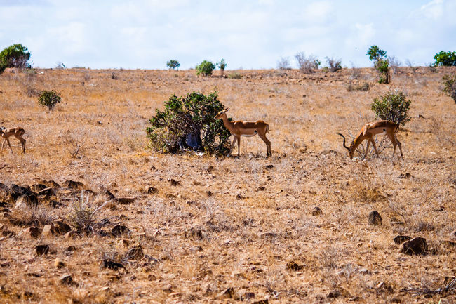 Africa Agriculture Day Field Grass Growth Hay Herbivorous Landscape Mammal National Park Nature Nature Outdoors Plant Rural Scene Safari Safari Animals Sky Tranquil Scene Tranquility Tree Tsavo Water Wild Animal