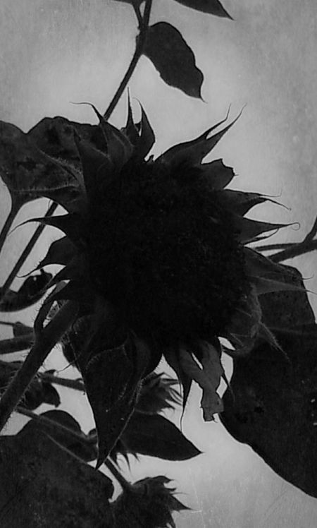 The last flower of Fall October Love Bw_collection Nature_collection NEM Black&white