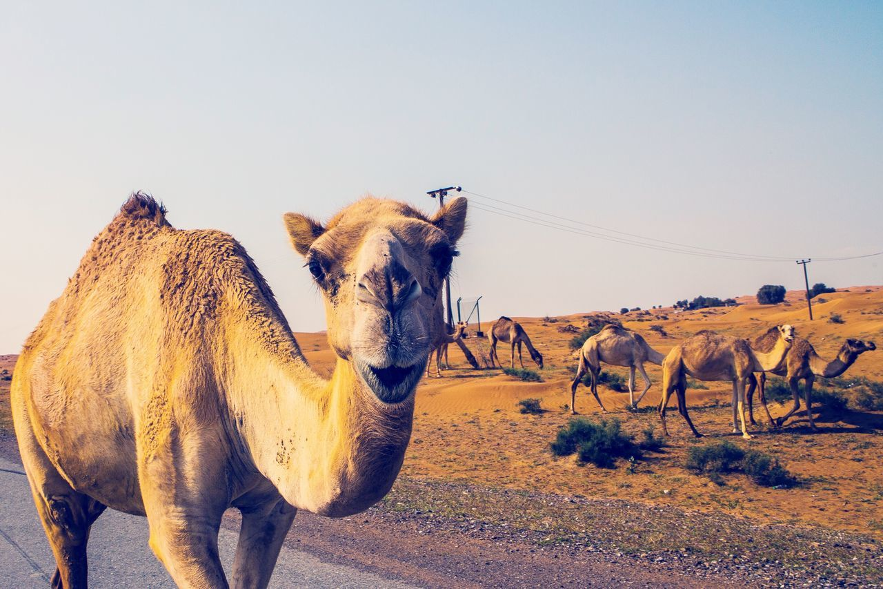 EyeEm Selects Animal Themes Mammal Domestic Animals Clear Sky Livestock Outdoors Day Standing Camel Kamel United Arab Emirates No People Desert Togetherness Nature Sky