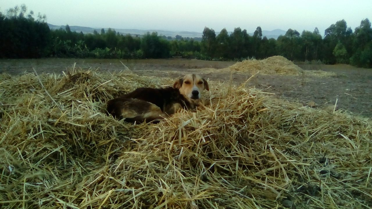animal themes, mammal, domestic animals, field, grass, dog, nature, outdoors, no people, pets, day, tree, landscape, sky