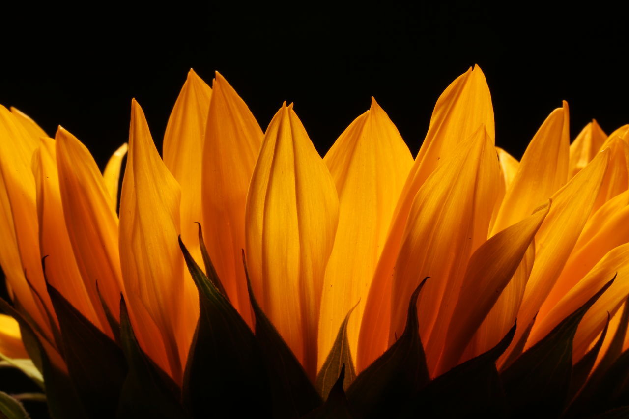 Beautiful stock photos of sunflower, Beauty In Nature, Black Background, Close-Up, Flower