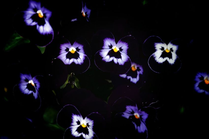 Beauty In The Darkness Beautiful_flower Flower Collection Flower Photography Flowerporn This Week On Eyeem Exceptional Photographs Viola Pansy Pansies