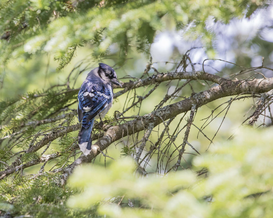 Animal Themes Animal Wildlife Animals In The Wild Beauty In Nature Bird Blue Jay Bird Branch Day Nature No People One Animal Outdoors Perching Tree