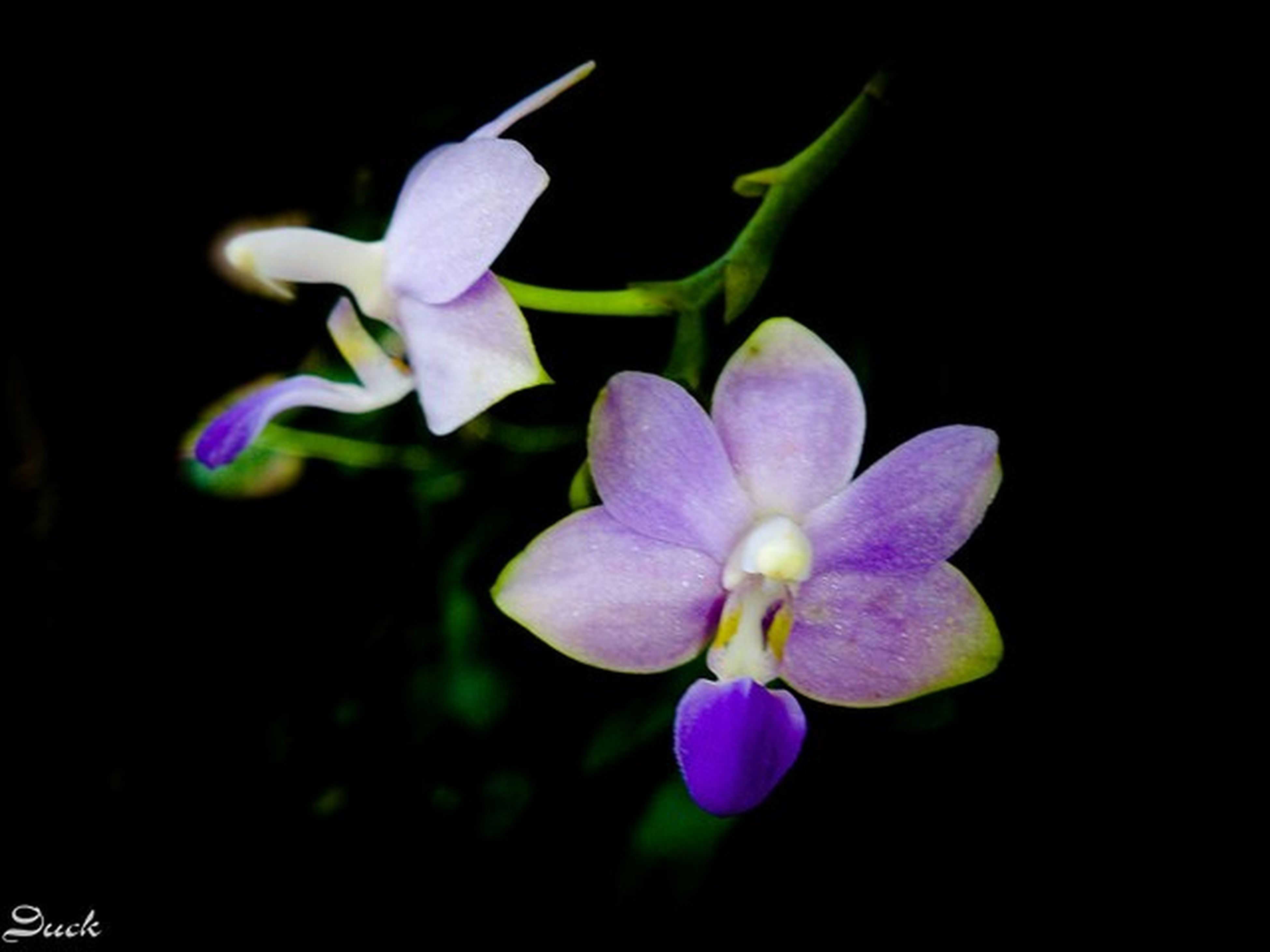flower, petal, freshness, fragility, flower head, growth, black background, purple, close-up, beauty in nature, studio shot, nature, night, plant, blooming, in bloom, no people, orchid, focus on foreground, blossom
