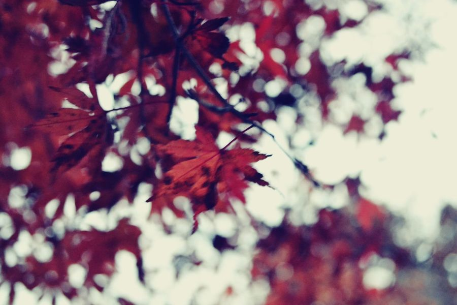 Leaf Nature Autumn Red Close-up Change Full Frame No People Backgrounds Growth Tree Maple Leaf Outdoors Maple Day Freshness Fragility