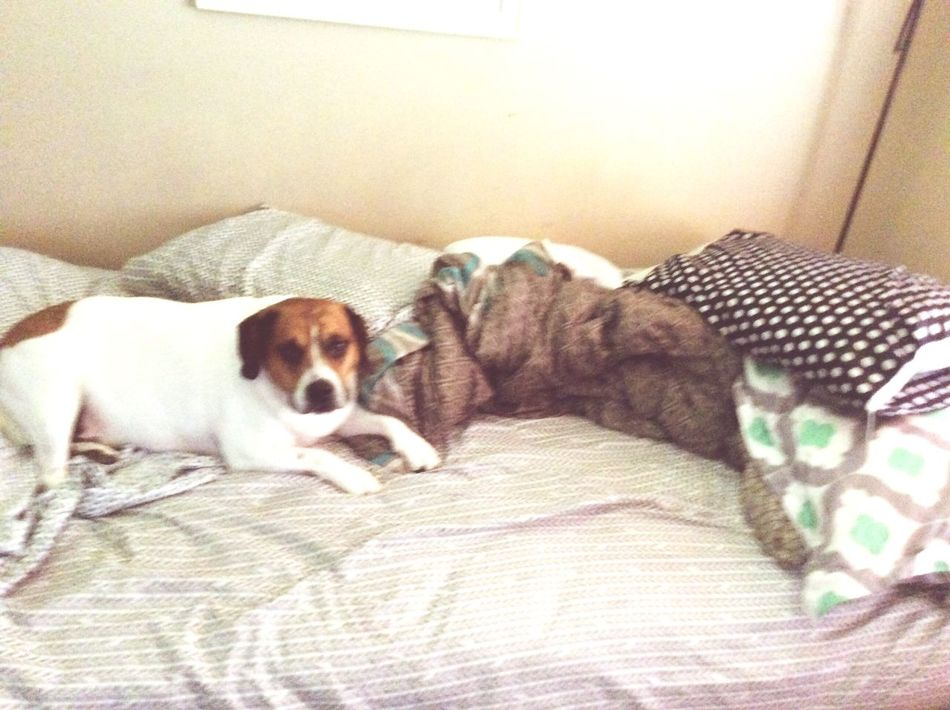 Reasons why I can never make, my bed. Pets Sammythebeabull Sammythebeabullonfacebook Dogs Of EyeEm Dog❤ Petsofeyeem Dogmom Sammy♡ LongIslandNY Taking Photos When Boredom Strikes.