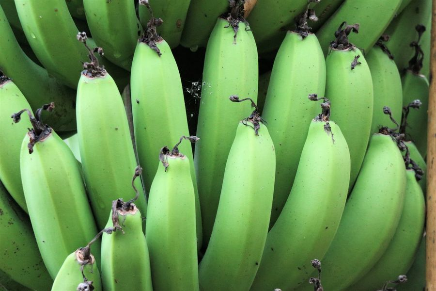 unripe green banana Banana Banana Tree Beauty In Nature Close-up Day Food Food And Drink Freshness Fruit Fruits Green Color Growth Healthy Eating Nature No People Organic Outdoors Tree Unripe