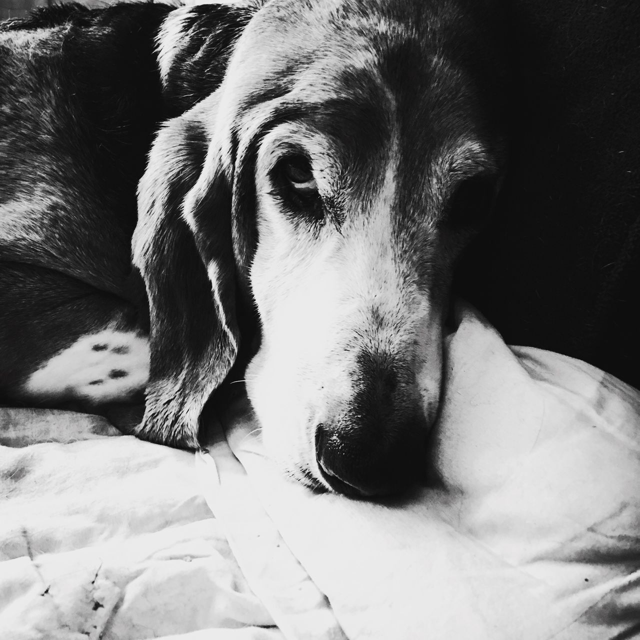 I just woke up Cooper Check This Out That's Me Enjoying Life Relaxedand Happy Ilovebassethounds Bassetworld Bassetmoments Bassetphotography Iphonephotography MySweetheart Posing For The Camera Blackandwhite Photography