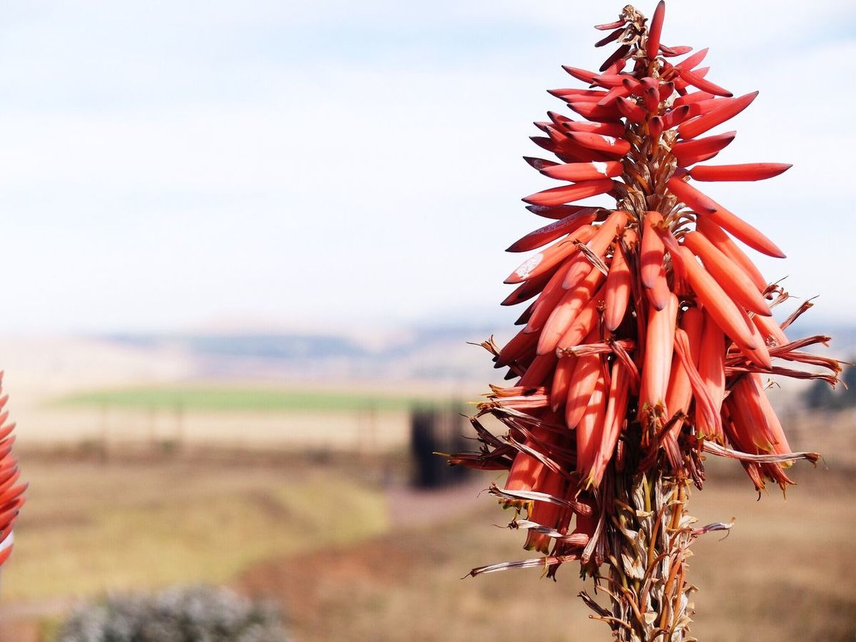 Aloe country 1. Flower Travel Traveling Midlands South Africa Showcase June