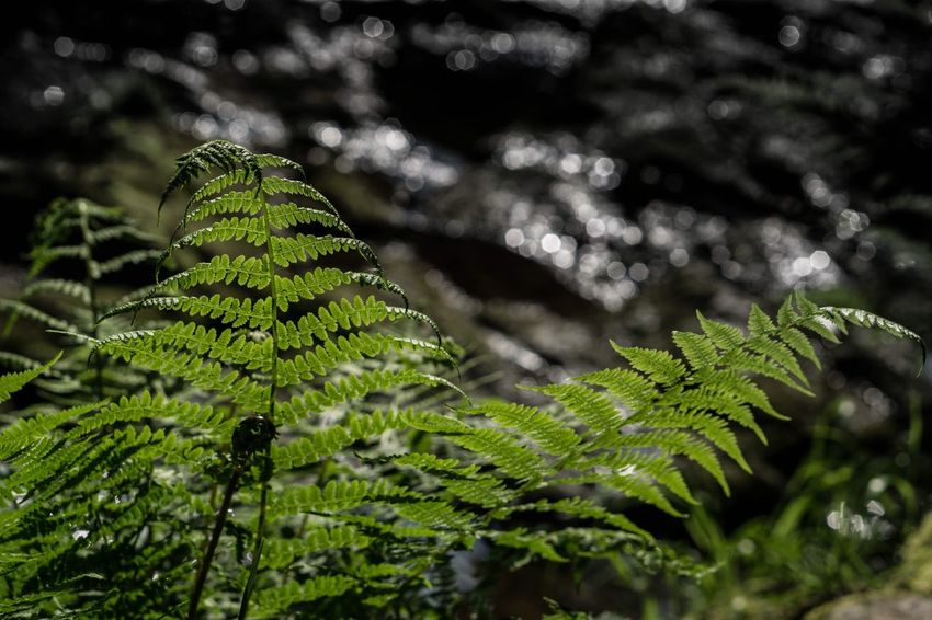   Between two ferns   Beauty In Nature Fern Taking Photos Enjoying Life Eye4photography  From Where I Stand EyeEm No People From My Point Of View Everyday Life Outdoors Nature Nature_collection Nature Photography Everything And Anything Eyeemphotography Check This Out Simple Photography Focus On Foreground
