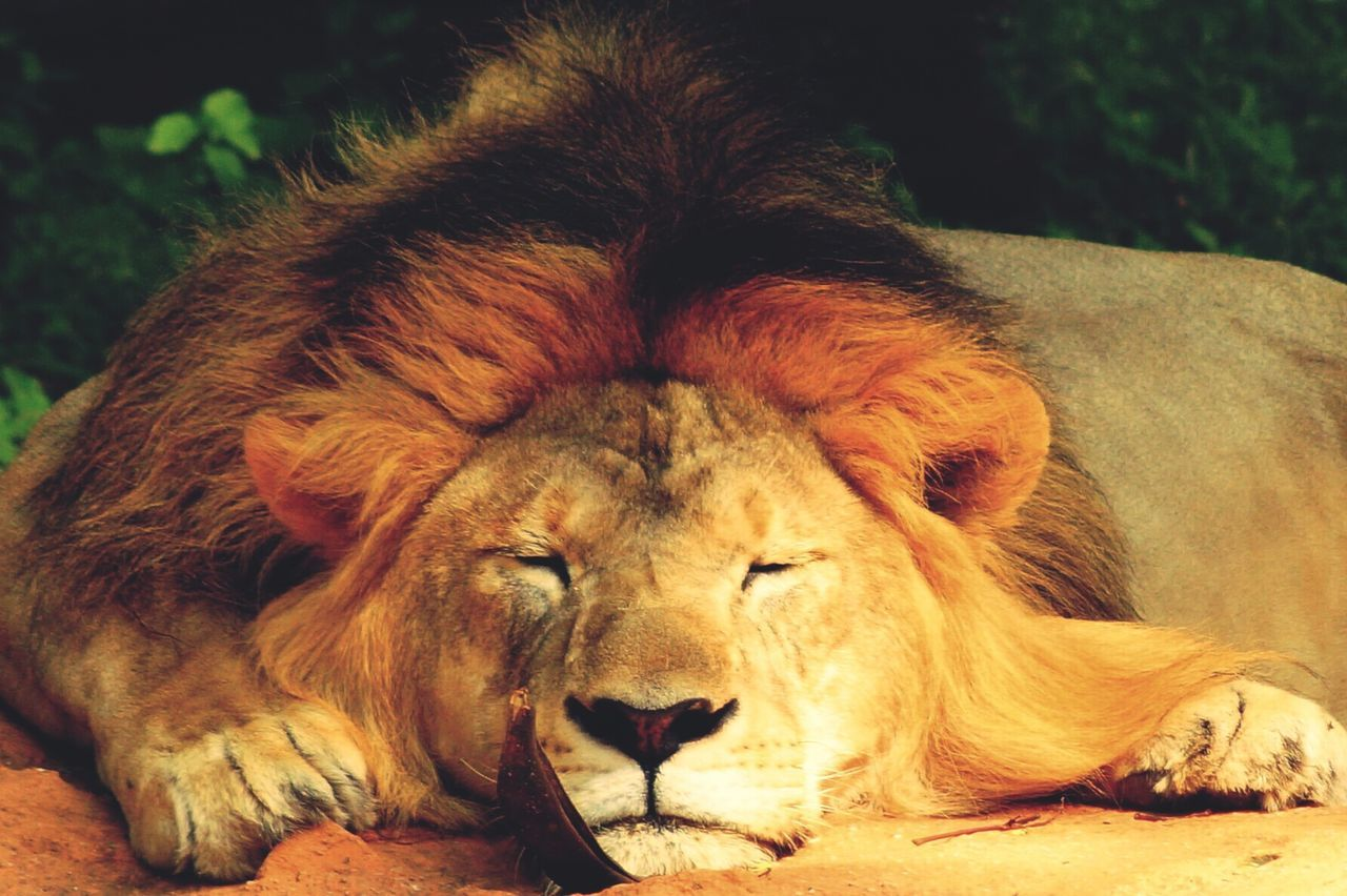 Close-Up Portrait Of Lion Relaxing Outdoors