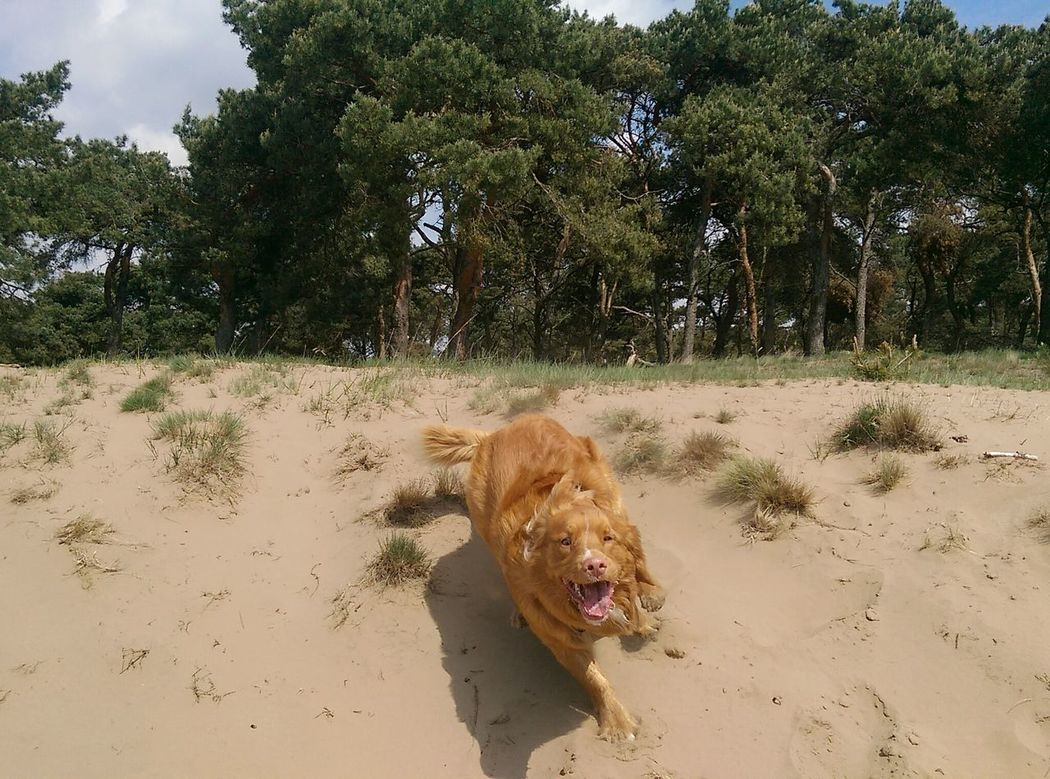 Dogphotography Young Wild And Free(; Outdoors Sand Dune Nature Onthemove Domestic Animal Nova Scotia Duck Tolling Retriever Having Fun Going Fast Playtime!