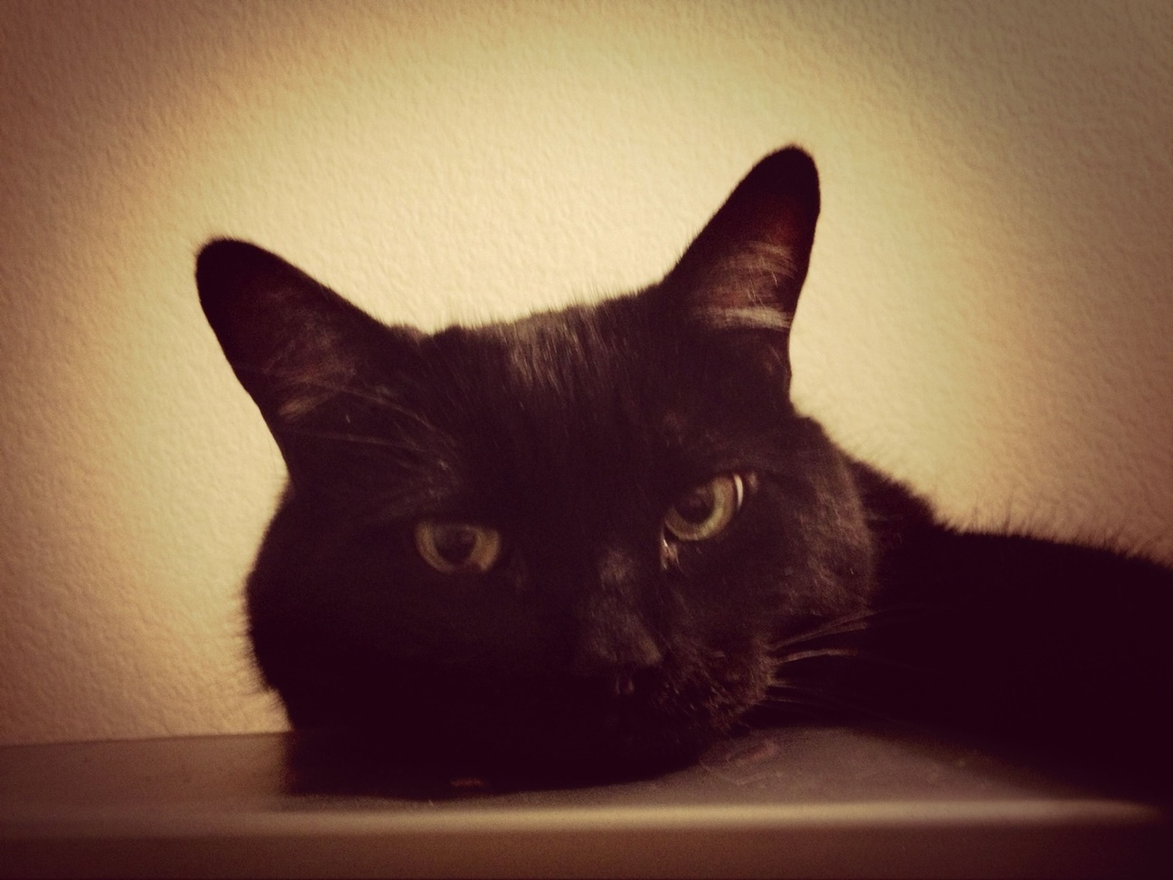 domestic cat, pets, cat, domestic animals, indoors, one animal, feline, animal themes, mammal, whisker, portrait, looking at camera, close-up, black color, staring, animal head, relaxation, alertness, home interior, animal eye