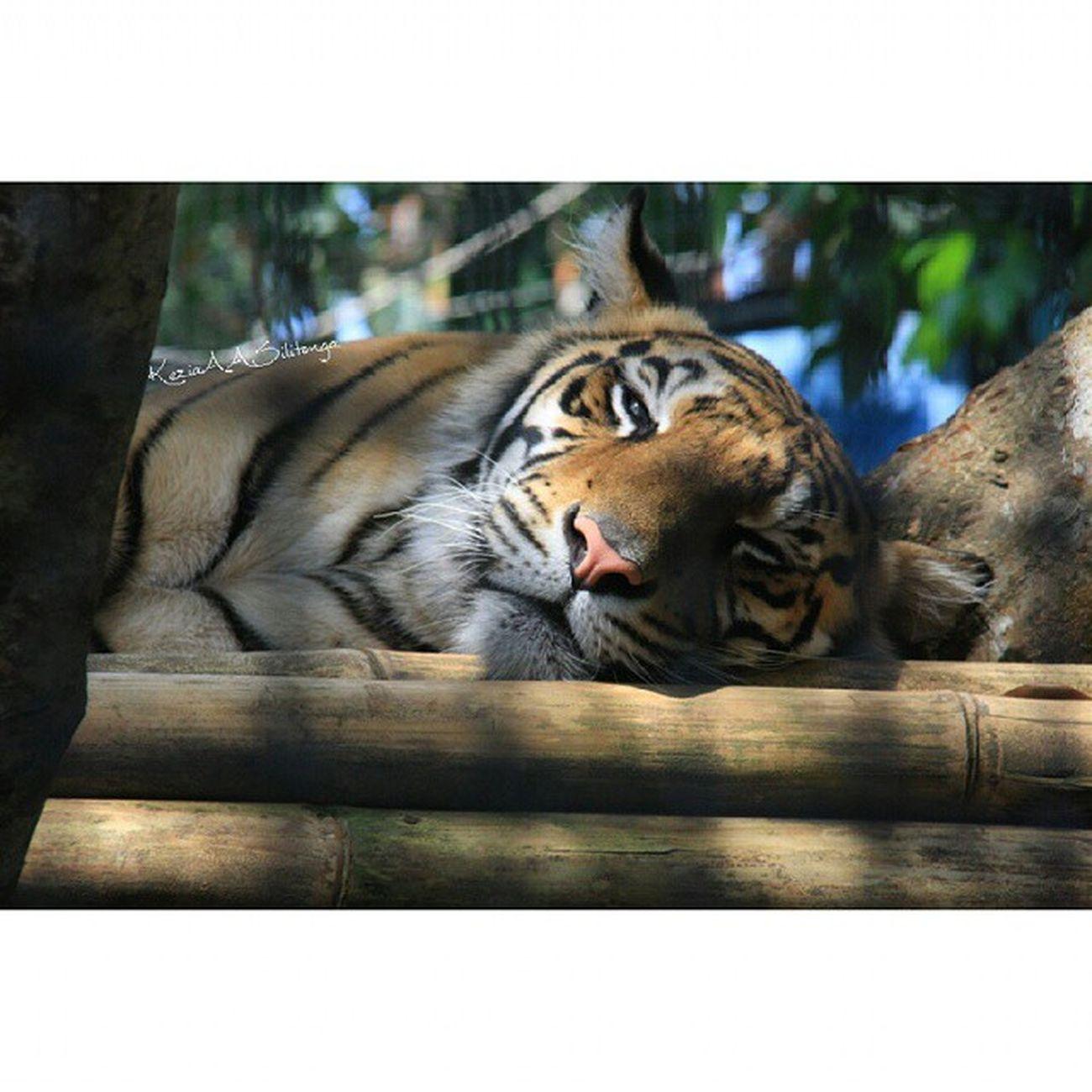 🐯😋 Me everyday.. Lazy😋🐯 Jatimpark2 Zoo BatuSecretZoo Myzooexperience throwback