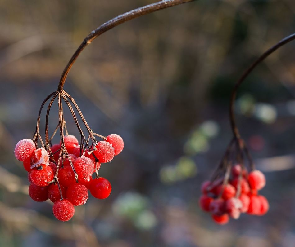 a buch of frosted berries in winter Berries Berry Bokeh Bunch Bunch Of Berries Close-up Day Focus On Foreground Focus On Object Frost Frozen Fruit Growth Nature Nature No People Outdoors Red Red Berries Twig White Frost Winter Wintertime Wood EyeEmNewHere