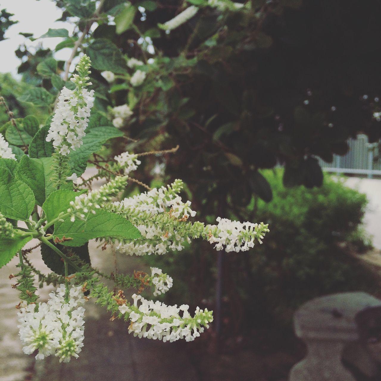 ดอกไม้ข้างทาง...แต่มีกลิ่นหอม ดอกรสสุคนธ์ Photo by : TAE Camera : iPhone 5s Date : 10-9-15 Location : Nakhonpathom,Thailand