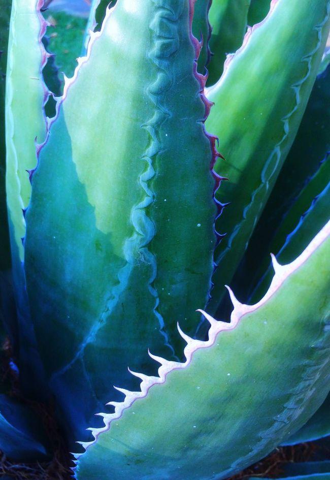 Agava Freshness Cool Succulents Cactus Sharp Lines Lines And Shapes Forms Forms And Shapes Succulent Plant Amazing Nature Adler Landscape Design Street Plants Colors Fresh Textures And Surfaces Cactus Garden Cactusplants Tropical Plants Tropical Beauty Desert Plants TakeoverContrast