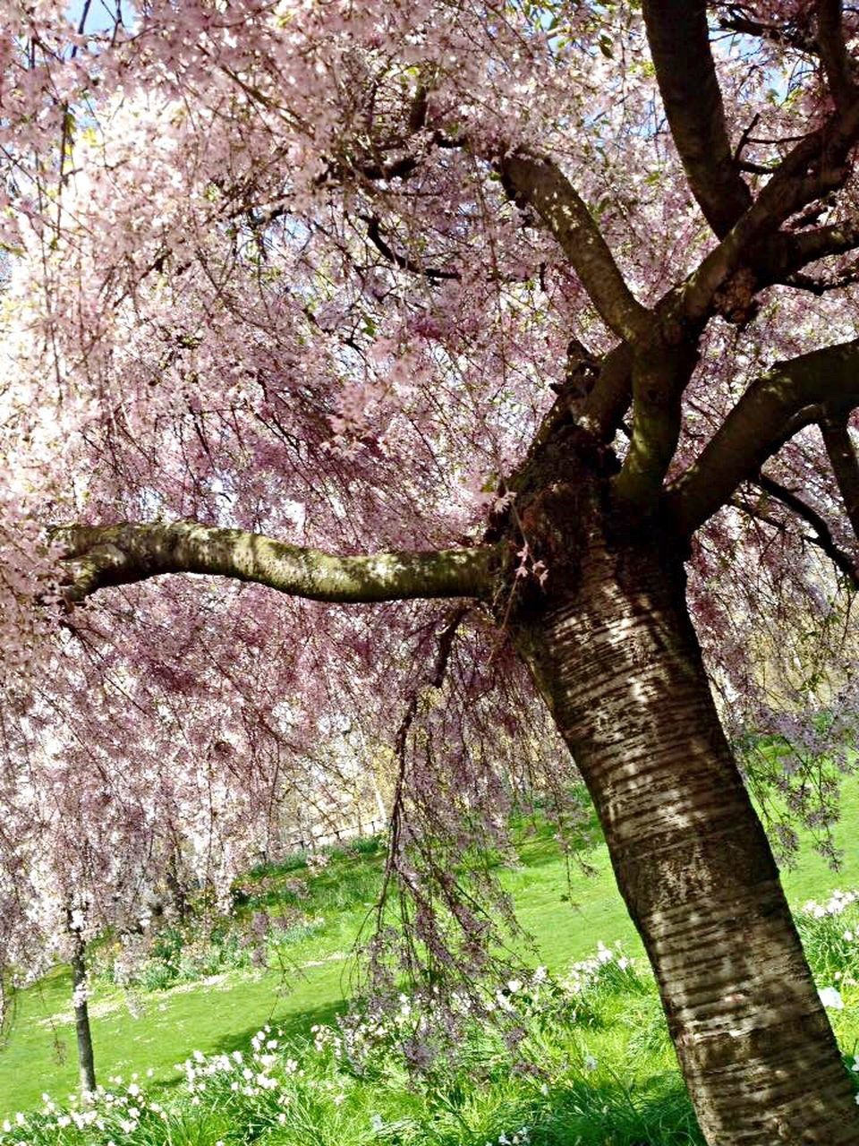 tree, tree trunk, growth, nature, branch, beauty in nature, blossom, no people, flower, springtime, low angle view, day, outdoors, tranquility, scenics, grass, freshness, fragility, sky