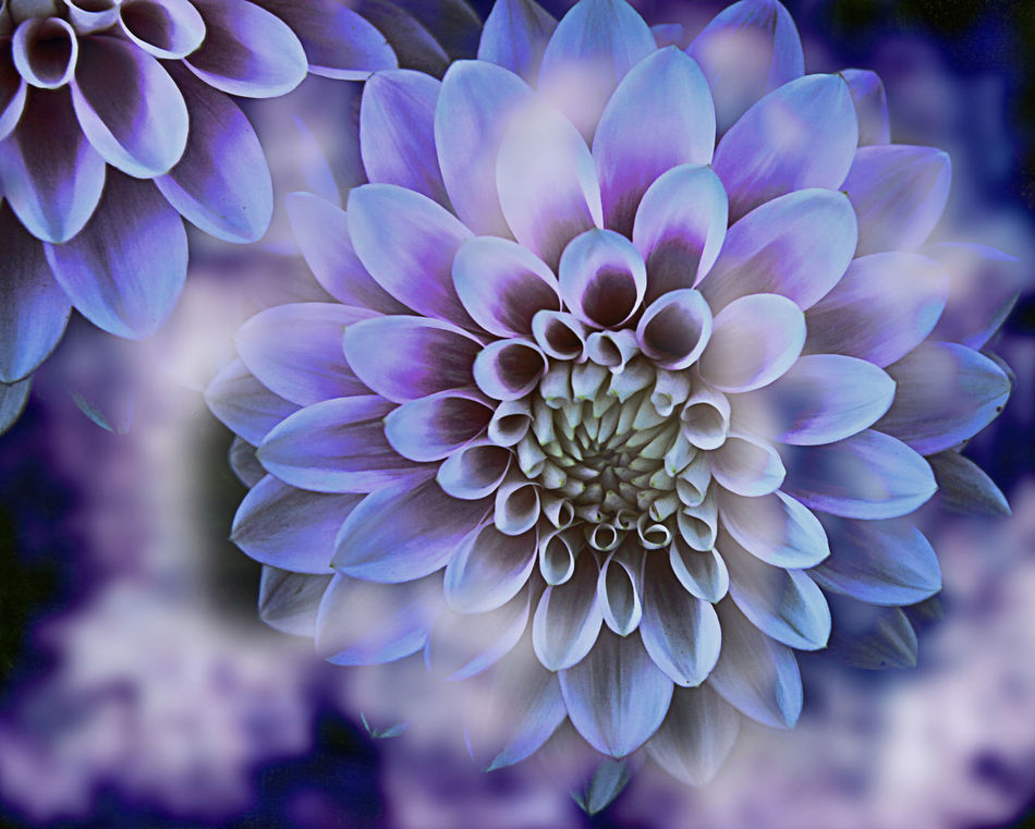 Beautiful variegated dahlia flower texture, white and purple colors with blur Beauty In Nature Blurred Background Close-up Dahlia Day Flower Flower Head Fragility Freshness Garden Growth Nature Nature No People Outdoors Pattern Petal Purple Texture