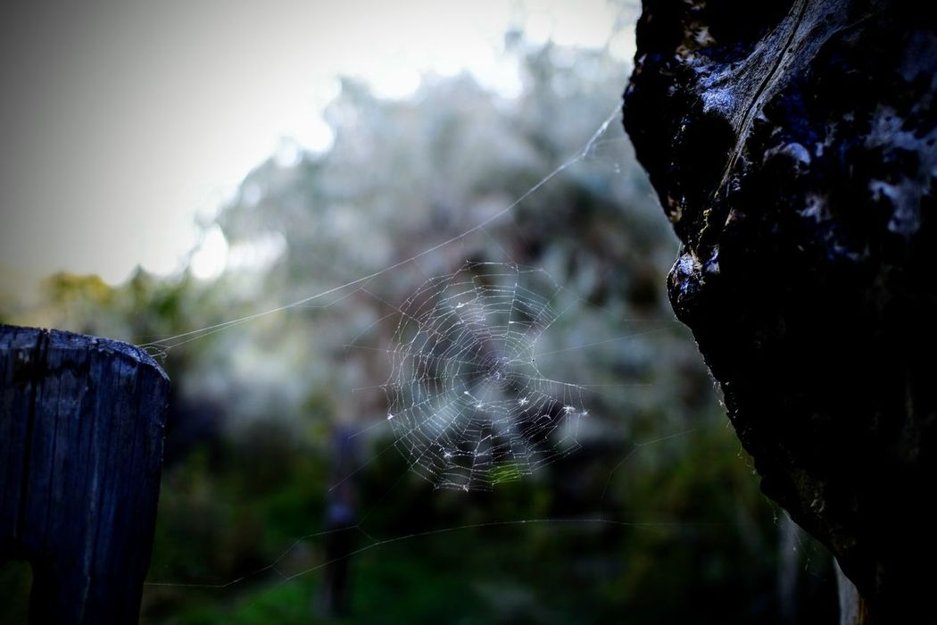 Spiderweb Natural Beauty Nature Spider Web Focus On Foreground Nature Outdoors Trapped No People Fragility Beauty In Nature Tree Close-up Tranquility Haunting  Muted Colors Halloween Autumn Fall Season Spider Web