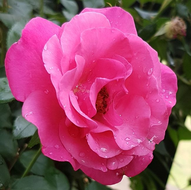 Flower Petal Pink Color Nature Beauty In Nature Fragility Water Growth Plant Outdoors Drop Close-up Wet Flower Head No People Freshness Day Horizontal Rose🌹 South Africa 🇿🇦 Creation Not Evolution God's Handiwork